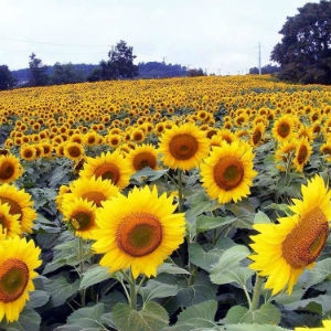 sunflowers-walk-of-hope